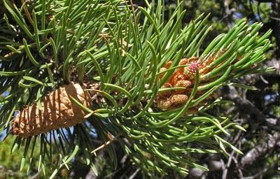 Copyright:Al Schneider. Southwest Colorado Wildflowers, www.swcoloradowildflowers.com