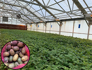 Potato plants growing in the greenhouse. Inset image shows potato minitubers.