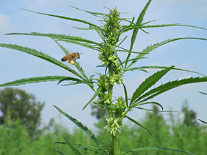 A bee approaching a hemp plant to collect pollen for food; note the pollen baskets on the hind legs.