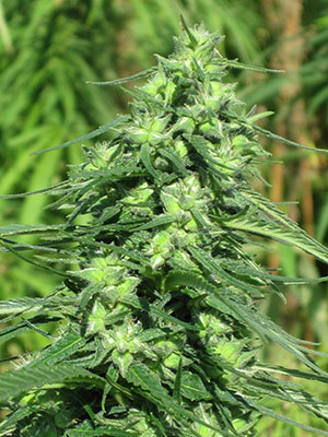 A female hemp plant grown for grain production.