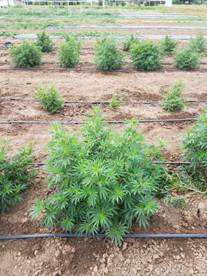High-CBD hemp production in an organic field. Photo: Janina Bowen