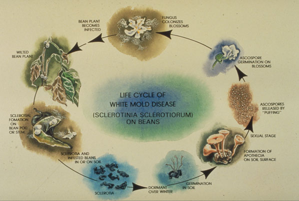 Life cycle of white mold