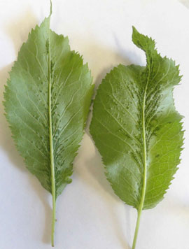 Leaf enations due to Cherry Rasp Leaf virus infection