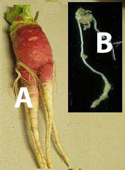 damage in radish (A) by infection in growing roots early in season, and root galls in tomato caused by root-knot nematode (B).