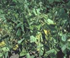 Fusarium Wilt yellowing and wilting of bean