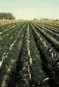 Corn stubble is used as cover