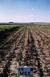 Figure 1: No Till Corn Planted In Wheat Stubble.