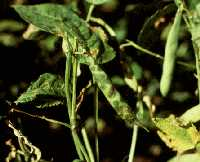 Brown spot lesions on pods.