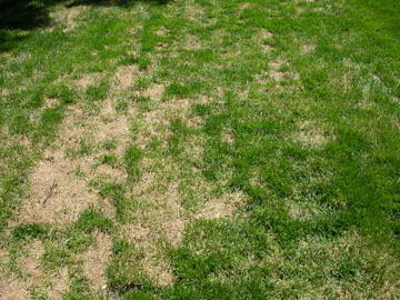Ascochyta Leaf Blight Of Turf Extensionextension