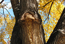 Figure 3. Old pruning cut with wetwood slime inhibiting callus growth. (W.R. Jacobi).