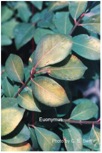 Figure 4: Heat Stress on Euonymus.