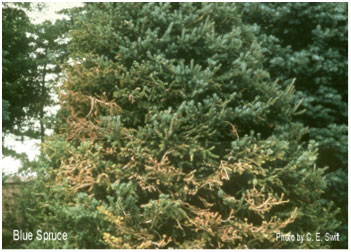Figure 5: Scorch and needle loss on Colorado spruce due to root damage