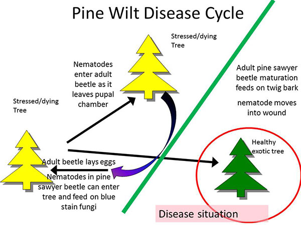 Pine Wilt Disease Cycle