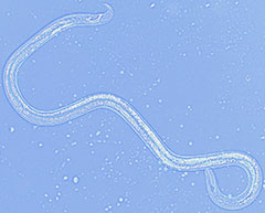 Adult male pinewood nematode