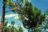 Figure 2: Witches' brooms -- dense, multiple branches on lodgepole pine infected with dwarf mistletoe.