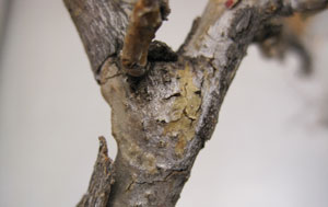 This canker has several fruiting bodies poking through the dead tissue.