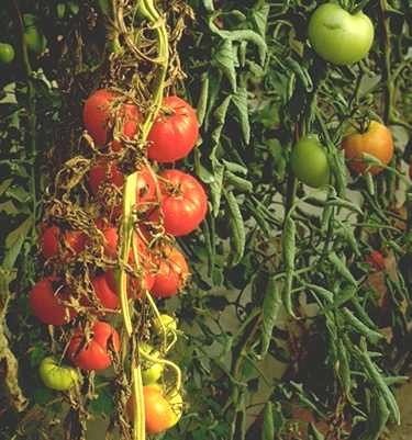 Recognizing Tomato Problems - 2 949 - ExtensionExtension