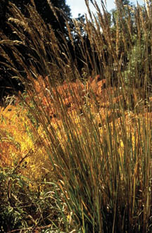 Ornamental Grasses Colorado Ornamental grasses 7232 extensionextension figure 1 indian grass sorghastrum nutans workwithnaturefo