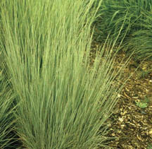 Ornamental Grasses Colorado Ornamental grasses 7232 extensionextension figure 2 little bluestem schizachyrium scoparium overdam feather reed grass workwithnaturefo