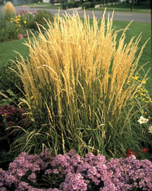 Ornamental Grasses Colorado Ornamental grasses 7232 extensionextension overdam feather reed grass workwithnaturefo