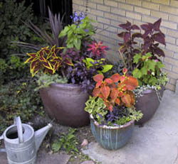 Many Coleus Leaf Forms And Colors Add Interest And Unite The Multiple Containers In This Planting Photo By C Wilson