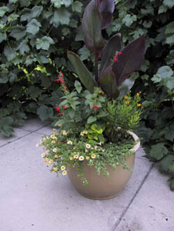 Vertical accent provided by a red leafed Canna Salvia provides irregular shaped red flowers and Marguerite daisy yellow round flowers