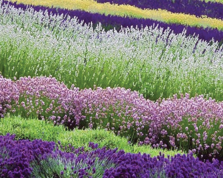Figure 2: Various colors of Lavender. Photo courtesy of Sequim Lavender Festival – Don Paulson.