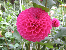 Figure 1:  Ball form dahlia.