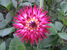 Figure 2: Pink and white dahlia.