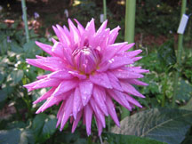 Figure 3: Pink dahlia with water drops.