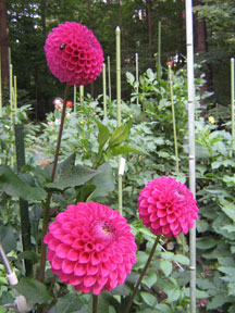 Figure 4: Three-ball form dahlias.