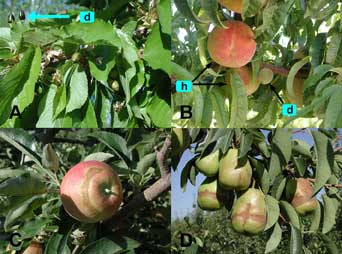 Figure 11: Late frost injury to young fruit. A. Sweet cherry: d = killed young cherry fruit. B.