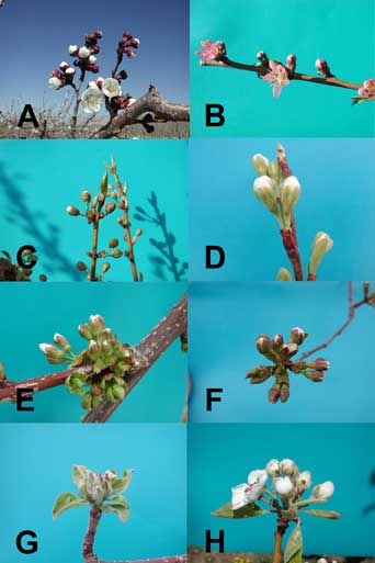 Figure 1: Fruit bud types.  A & B:  Simple buds – apricot and peach/nectarine, respectively) C - H: Buds with multiple flowers – European plum, Japanese plum, sweet cherry, tart cherry, apple, and pear, respectively.  (Photos by H.J. Larsen.)