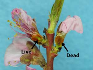 Figure 2: Fantasia nectarine buds, cut longitudinally to show the pistil, one live and one dead (photo by HJLarsen).