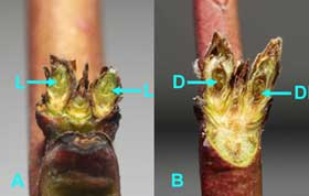 Figure 3: BerendaSun peach buds (first swell stage) cut vertically to show pistils.  A.  Both buds alive.  B.  Both buds dead (Photo by H.J.Larsen.)