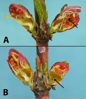 Figure 4:  BerendaSun peach buds (first pink stage) cut vertically to expose the pistil for freeze injury evaluation.  Arrows:  damaged or dead pistil (right side each photo).  A.  Right bud shows pistil damaged by freeze the prior night; note brownish discoloration of pistil.  B.  Right bud shows pistil killed by freeze two to three weeks prior to evaluation.  Note smaller size and darker brown color of the older freeze-killed pistil in B than in A.  (Photos by H.J. Larsen.)