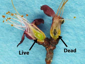 Figure 5: Apricot buds (full bloom stage) cut vertically to expose the pistil for freeze damage evaluation. Note the blackened pistil on the right, killed by the prior night freeze (Photo by H.J. Larsen.)