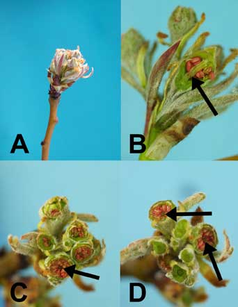 Figure 10: Pear buds (Photos by H.J. Larsen)
