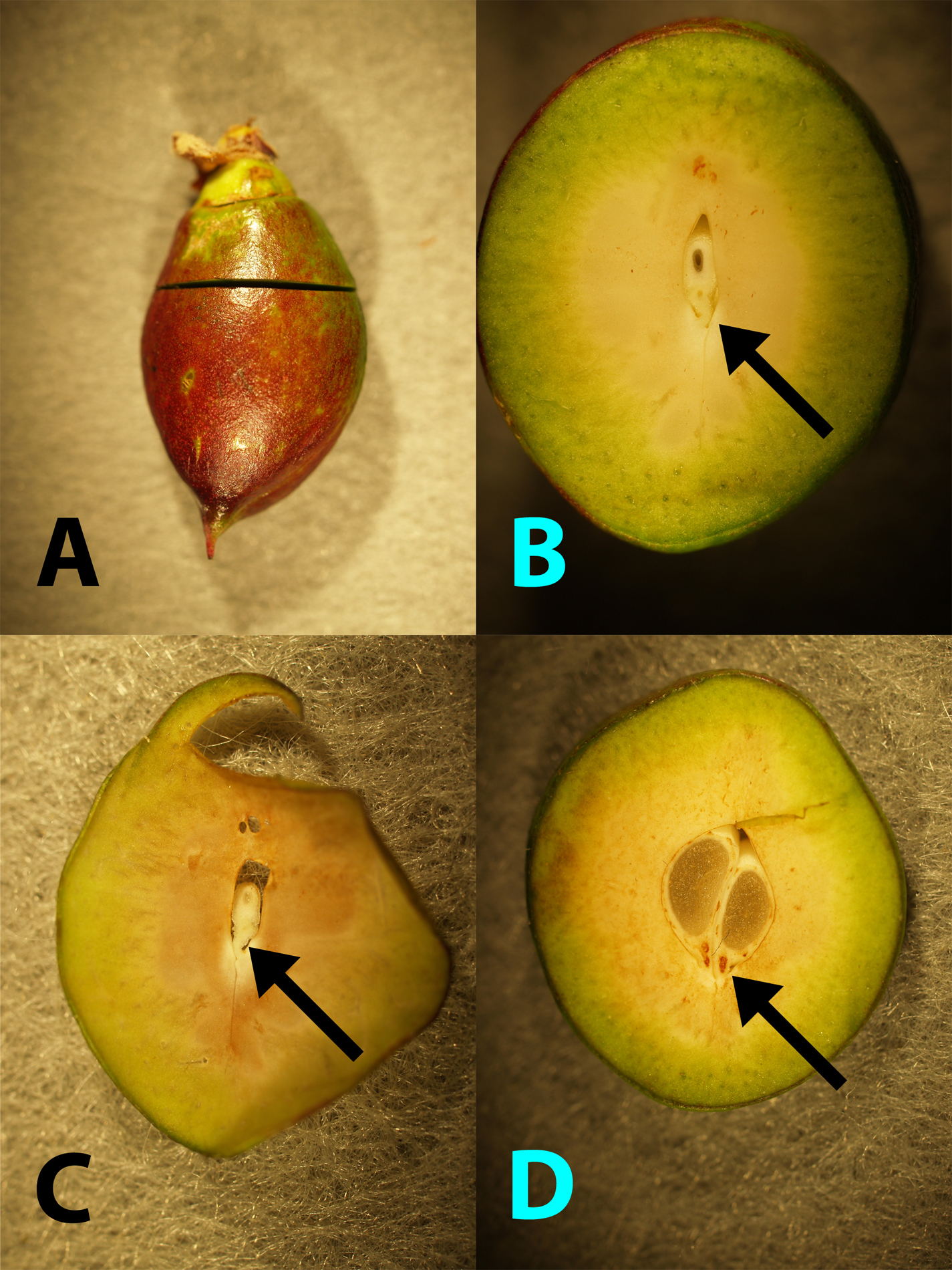 Figure 6: Young nectarine cut to show embryo attachment (funiculus, arrows) to the fruit tissue.  A. Cut orientation and location.  B.  Young embryo with undamaged funiculus.  C.  Thin section to emphasize embryo and undamaged funiculus).  D.  Twin embryos with damage within each funiculus; note the brown discoloration.  (Photos by H.J. Larsen.)