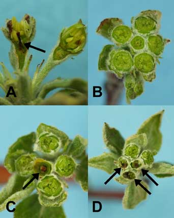 Figure 9: Apple buds cut to show cold injury damage; arrows show killed pistil tissues. A.Longitudinal section (left flower killed). B - D: Cross-sections of flower buds. B. Six live flowers (King bloom in center); C: King bloom pistil killed, side blooms still alive; D: King bloom and two side blooms killed, two top side blooms alive.