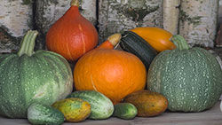 Cucumbers, pumpkins, squash and melons
