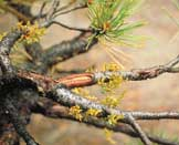 Figure 5: Lodgepole pine dwarf mistletoe plants. Note thin green-yellow shoots.