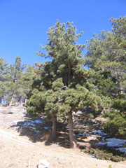 Figure 7: Dense dark green brooms on ponderosa pine infected with lodgepole pine dwarf mistletoe.