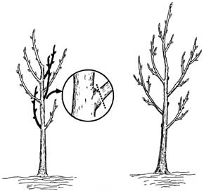 Figure 2 Prune Interfering Weak Or Crowded Branches Stems In Black Are The Ones To Be Removed Left Make Cut Outside Of Branch Bark Ridge And