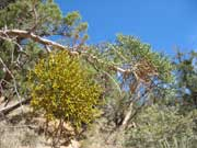 Figure 6: Juniper mistletoe. Note the globose growth in this juniper