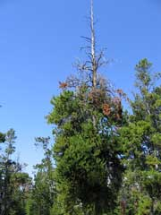 Figure 3: Lodgepole pine with dead top and dense dwarf mistletoe-induced brooms on the lower stem.
