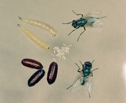 House fly life stages