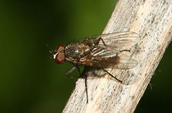 Figure 6: Little house fly. (Photo courtesy of David Shetlar, Ohio State University.)