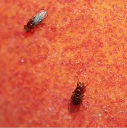 Figure 10: Small Fruit Flies (u201cvinegar Fliesu201d) On The Surface Of An  Overripe Peach.