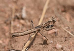 Ground mantid.